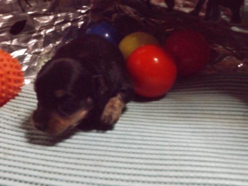 ミニチュアダックスフンド(ロング)の子犬(ID:1244111234)の1枚目の写真/更新日:2018-01-04
