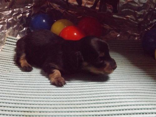 ミニチュアダックスフンド(ロング)の子犬(ID:1244111234)の2枚目の写真/更新日:2018-01-04