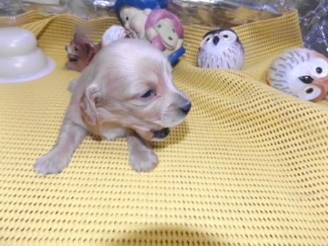 ミニチュアダックスフンド(ロング)の子犬(ID:1244111235)の1枚目の写真/更新日:2018-01-04