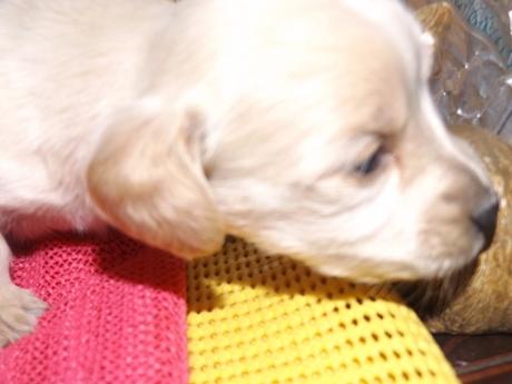 ミニチュアダックスフンド(ロング)の子犬(ID:1244111236)の1枚目の写真/更新日:2018-01-04