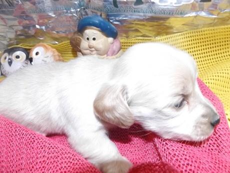 ミニチュアダックスフンド(ロング)の子犬(ID:1244111236)の2枚目の写真/更新日:2018-01-04