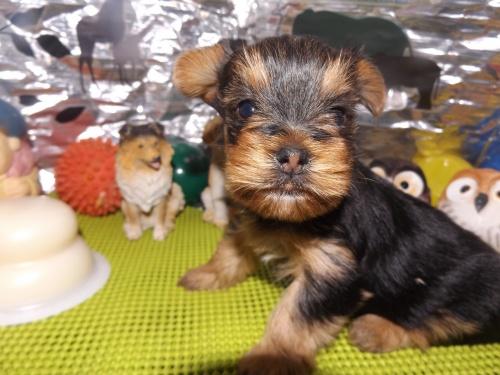 ヨークシャーテリアの子犬(ID:1244111237)の1枚目の写真/更新日:2018-01-22