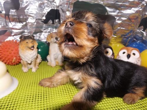 ヨークシャーテリアの子犬(ID:1244111237)の2枚目の写真/更新日:2018-01-22
