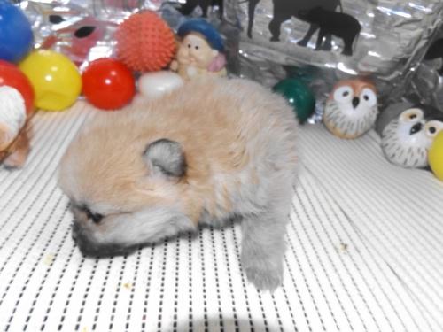 ポメラニアンの子犬(ID:1244111238)の2枚目の写真/更新日:2018-01-22
