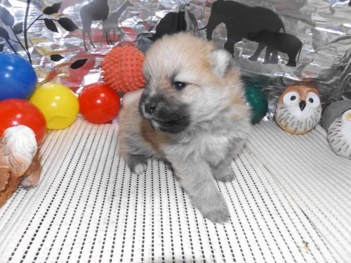 ポメラニアンの子犬(ID:1244111238)の3枚目の写真/更新日:2018-01-22