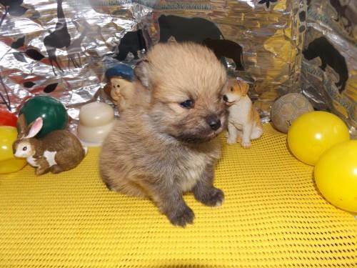 ポメラニアンの子犬(ID:1244111239)の1枚目の写真/更新日:2018-01-22