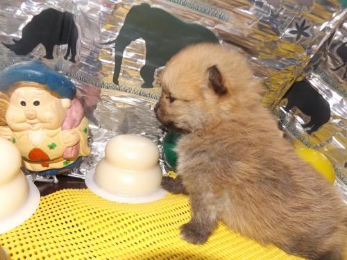 ポメラニアンの子犬(ID:1244111239)の3枚目の写真/更新日:2018-01-22