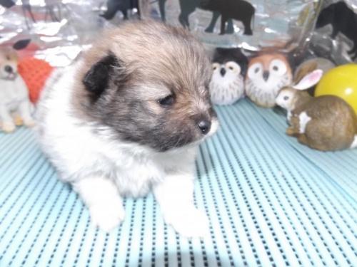 ポメラニアンの子犬(ID:1244111240)の3枚目の写真/更新日:2018-01-22