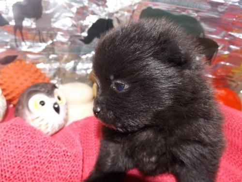 ポメラニアンの子犬(ID:1244111241)の3枚目の写真/更新日:2018-01-22