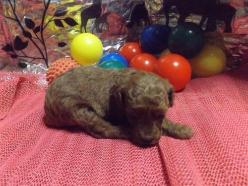トイプードルの子犬(ID:1244111243)の1枚目の写真/更新日:2018-04-14