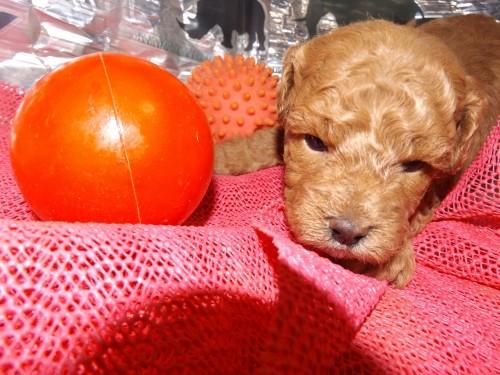 トイプードルの子犬(ID:1244111244)の1枚目の写真/更新日:2018-04-14
