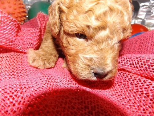 トイプードルの子犬(ID:1244111244)の2枚目の写真/更新日:2018-04-14