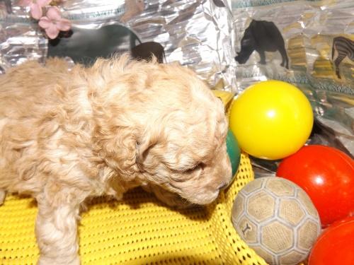 トイプードルの子犬(ID:1244111245)の1枚目の写真/更新日:2018-04-14