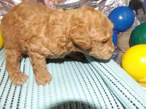 トイプードルの子犬(ID:1244111246)の1枚目の写真/更新日:2018-04-14