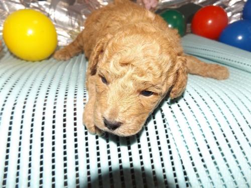 トイプードルの子犬(ID:1244111246)の2枚目の写真/更新日:2018-04-14