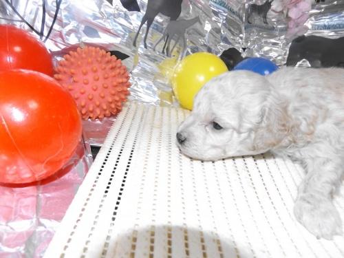 トイプードルの子犬(ID:1244111247)の1枚目の写真/更新日:2018-04-14