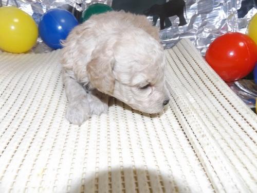 トイプードルの子犬(ID:1244111247)の2枚目の写真/更新日:2018-04-14