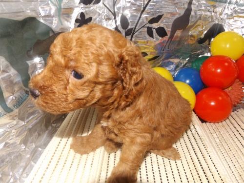 トイプードルの子犬(ID:1244111248)の1枚目の写真/更新日:2018-06-08