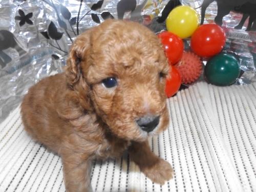 トイプードルの子犬(ID:1244111248)の2枚目の写真/更新日:2018-06-08