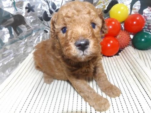 トイプードルの子犬(ID:1244111248)の3枚目の写真/更新日:2018-06-08