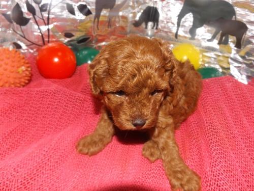 トイプードルの子犬(ID:1244111249)の1枚目の写真/更新日:2018-06-08