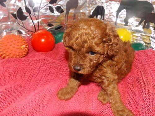 トイプードルの子犬(ID:1244111249)の2枚目の写真/更新日:2018-06-08