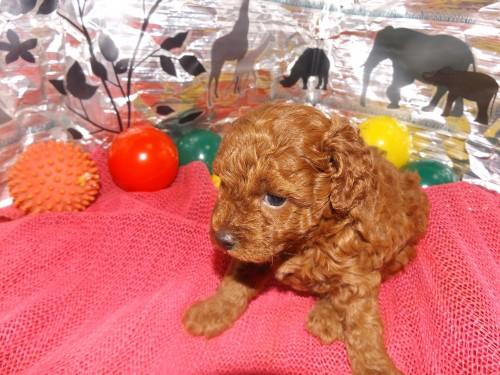 トイプードルの子犬(ID:1244111249)の3枚目の写真/更新日:2018-06-08