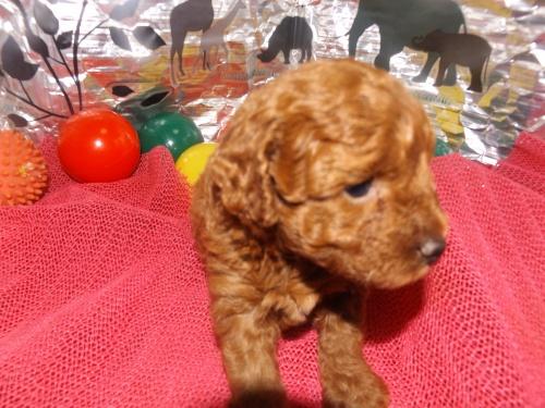 トイプードルの子犬(ID:1244111249)の4枚目の写真/更新日:2018-06-08