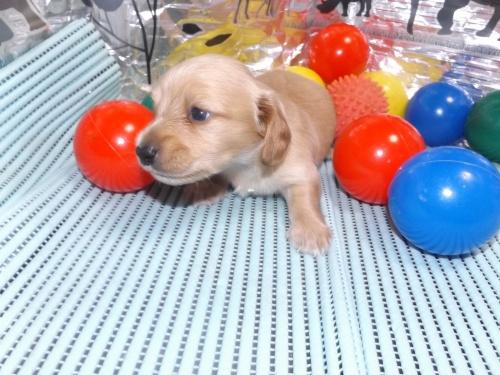 ミニチュアダックスフンド(ロング)の子犬(ID:1244111250)の1枚目の写真/更新日:2018-06-08