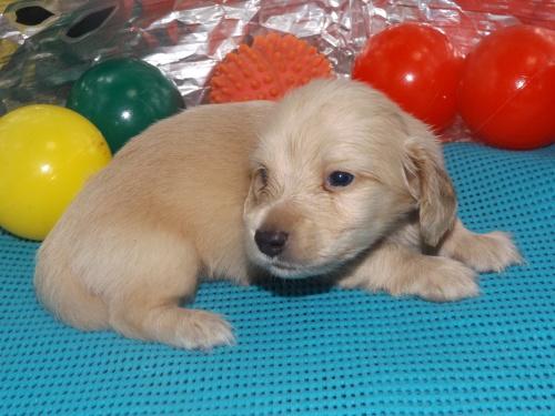 ミニチュアダックスフンド(ロング)の子犬(ID:1244111251)の1枚目の写真/更新日:2018-06-08
