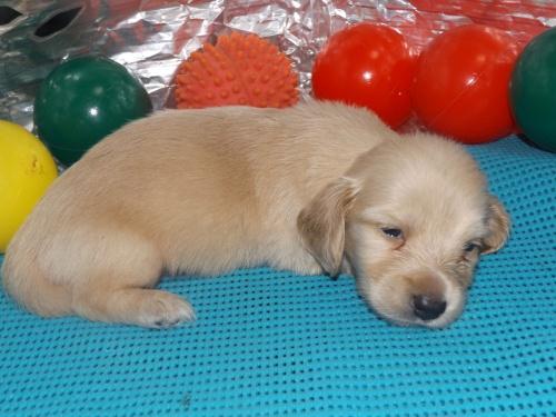 ミニチュアダックスフンド(ロング)の子犬(ID:1244111251)の3枚目の写真/更新日:2018-06-08
