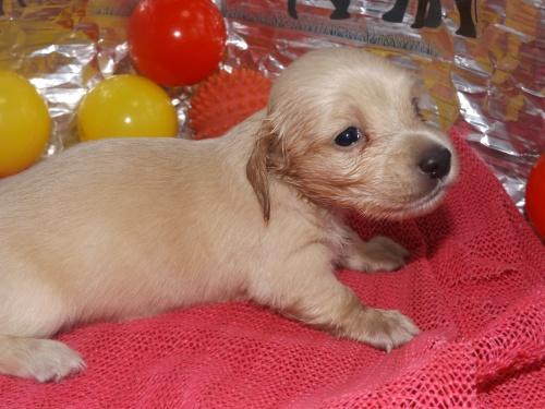 ミニチュアダックスフンド(ロング)の子犬(ID:1244111252)の1枚目の写真/更新日:2018-06-08