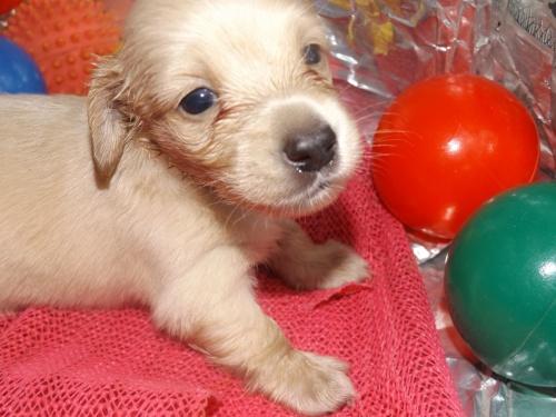 ミニチュアダックスフンド(ロング)の子犬(ID:1244111252)の2枚目の写真/更新日:2018-06-08