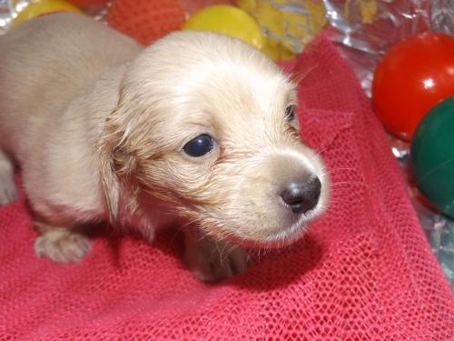 ミニチュアダックスフンド(ロング)の子犬(ID:1244111252)の3枚目の写真/更新日:2018-06-08