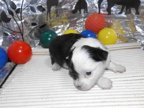 チワワ(ロング)の子犬(ID:1244111253)の1枚目の写真/更新日:2018-06-08
