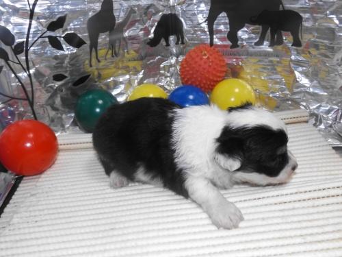 チワワ(ロング)の子犬(ID:1244111253)の2枚目の写真/更新日:2018-06-08