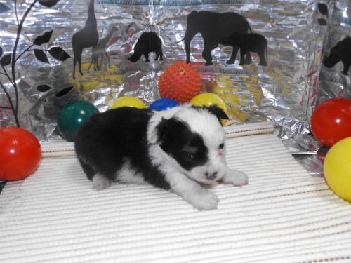 チワワ(ロング)の子犬(ID:1244111253)の3枚目の写真/更新日:2018-06-08