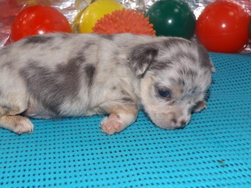 チワワ(スムース)の子犬(ID:1244111254)の1枚目の写真/更新日:2018-06-08