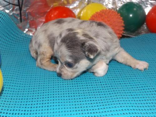 チワワ(スムース)の子犬(ID:1244111254)の2枚目の写真/更新日:2018-06-08