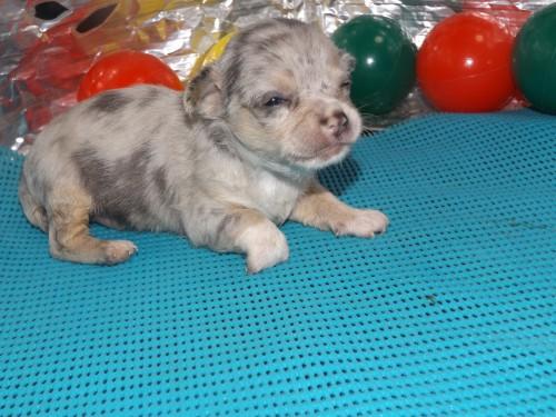 チワワ(スムース)の子犬(ID:1244111254)の3枚目の写真/更新日:2018-06-08