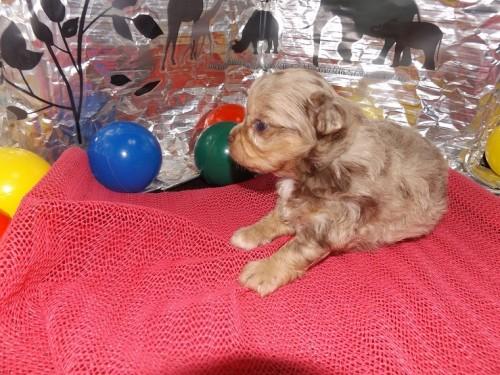チワワ(ロング)の子犬(ID:1244111255)の1枚目の写真/更新日:2018-06-08