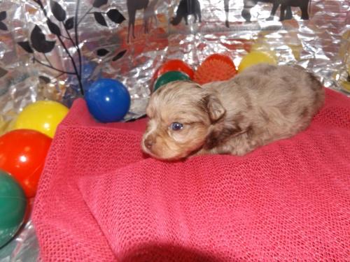 チワワ(ロング)の子犬(ID:1244111255)の2枚目の写真/更新日:2018-06-08