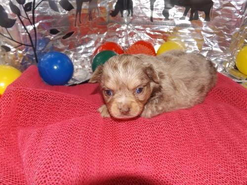 チワワ(ロング)の子犬(ID:1244111255)の3枚目の写真/更新日:2018-06-08