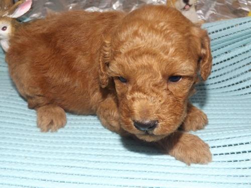 トイプードルの子犬(ID:1244111256)の3枚目の写真/更新日:2018-06-12
