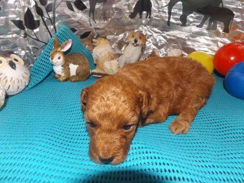 トイプードルの子犬(ID:1244111257)の1枚目の写真/更新日:2018-06-12