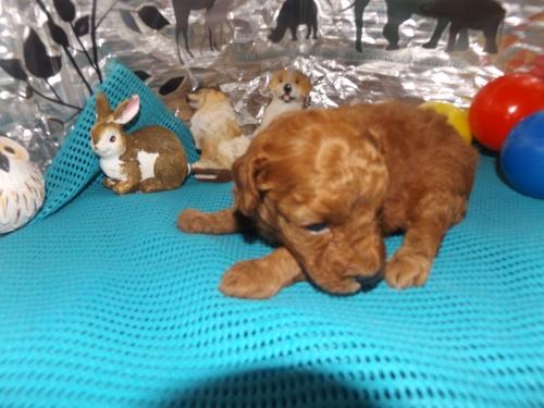 トイプードルの子犬(ID:1244111257)の2枚目の写真/更新日:2018-06-12