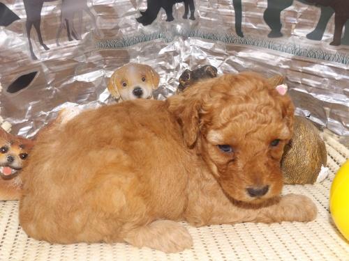 トイプードルの子犬(ID:1244111258)の1枚目の写真/更新日:2018-06-12