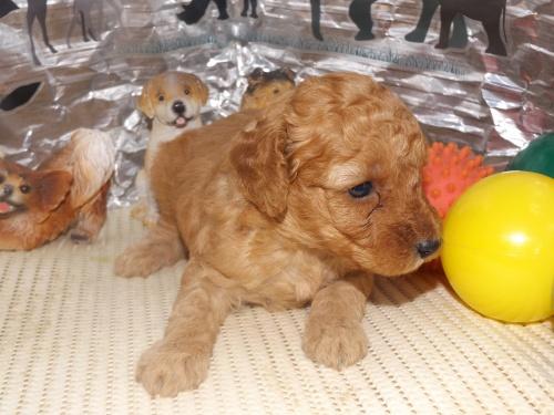 トイプードルの子犬(ID:1244111258)の2枚目の写真/更新日:2018-06-12