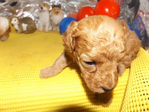 トイプードルの子犬(ID:1244111259)の2枚目の写真/更新日:2018-06-12