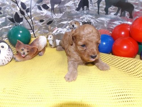 トイプードルの子犬(ID:1244111259)の3枚目の写真/更新日:2018-06-12